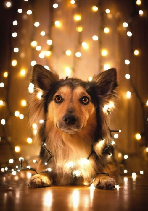 Dog wrapped in Christmas lights. (Such a pretty background!) | Dogs ...
