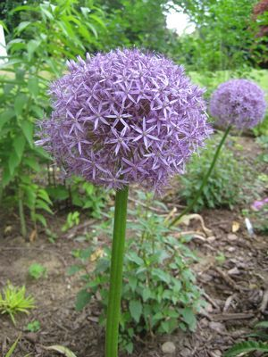 Allium Globemaster Flowering Onion From Prides Corner Farms White Flower Farm Flower Farm Planting Flowers