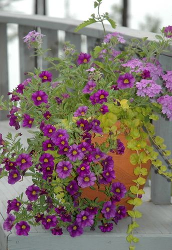container gardening picture of terra cotta jar with verbena, calibrachoa and creeping Jenny
