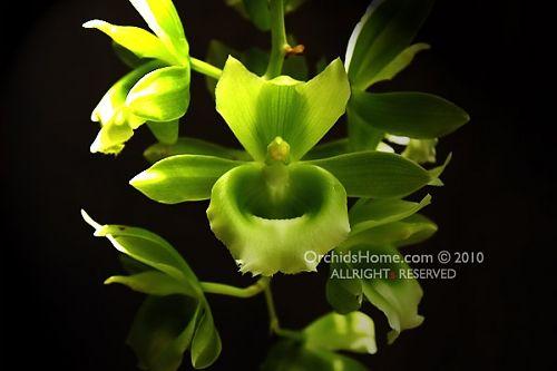 Catasetum Raymond Lerner