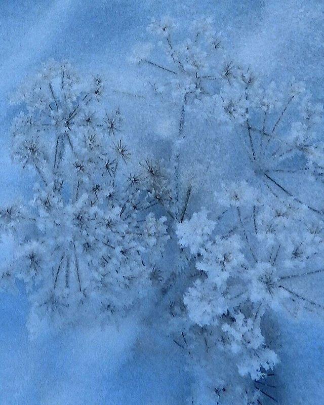 If you can dream it, you can do it. ~Walt Disney~ Have a nice day   #frozen #flower #wintertime #winterwonderland #snow #bluemoment #finnishnature #lovelyfinland #natureshots #naturephotography #naturemoments #mothernature #finland #finland_photolovers #suomenluonto #luontokuvaus #jäätynyt #kukka #talvi #talventörröttäjä #talvenihmemaa #sininenhetki