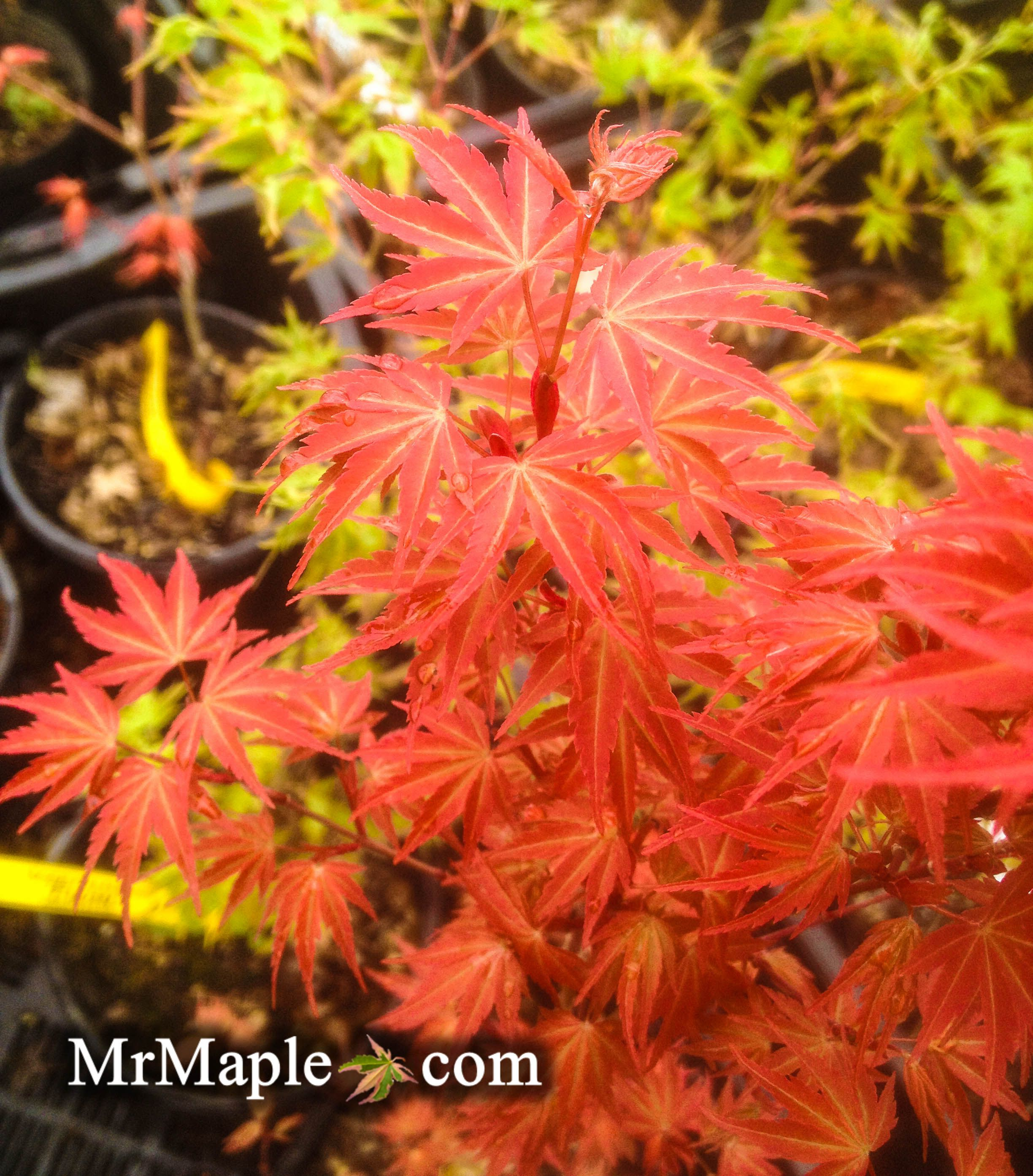 How to care for a fern leaf japanese maple - Sandra Is A Gorgeous Little Pink Dwarf Japanese Maple This Small Tree Is Excellent For
