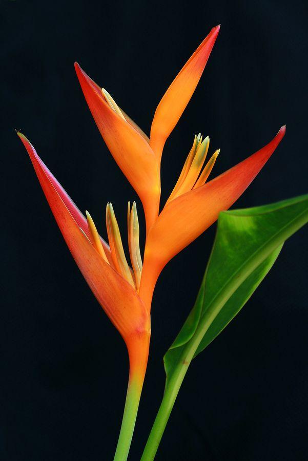 Oiseau De Paradis Photos Inspirations Tatouage Fleurs Exotiques
