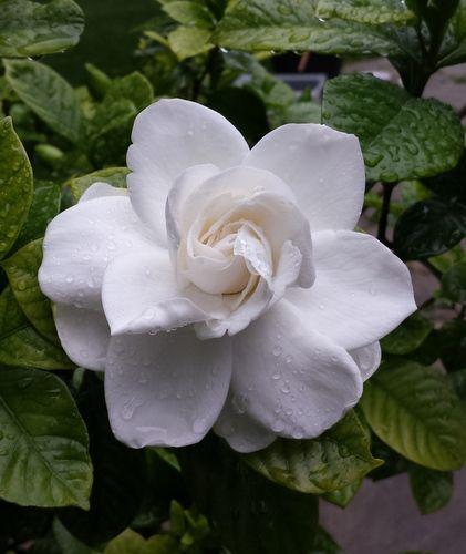 栀子花开 Gardenia Jasminoides With Images Flowers Flower