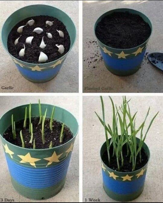 growing garlic plants pinterest garten pflanzen und garten pflanzen. Black Bedroom Furniture Sets. Home Design Ideas