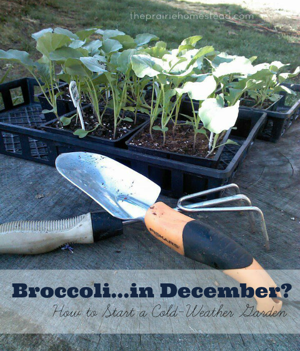 How to Grow Broccoli in Your Fall Garden • The Prairie Homestead