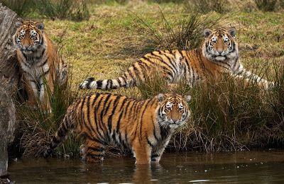 FOTOFRONTERA: Tigres salvajes en su hábitat (parte 1) (shared via SlingPic)
