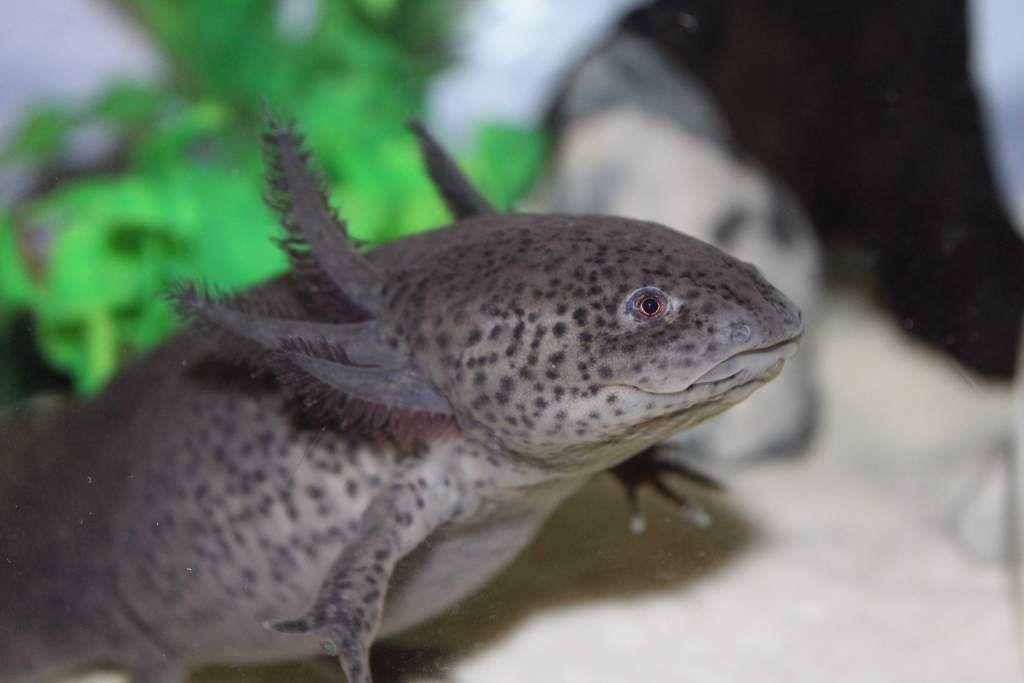 Axolotl: Toothless.