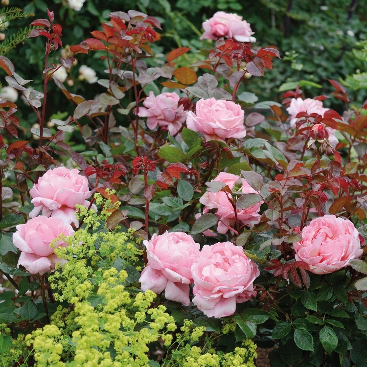 Brother cadfael roses pinterest tree planting plants and very large globular clear pink flowers particularly strong and rich old rose fragrance mightylinksfo