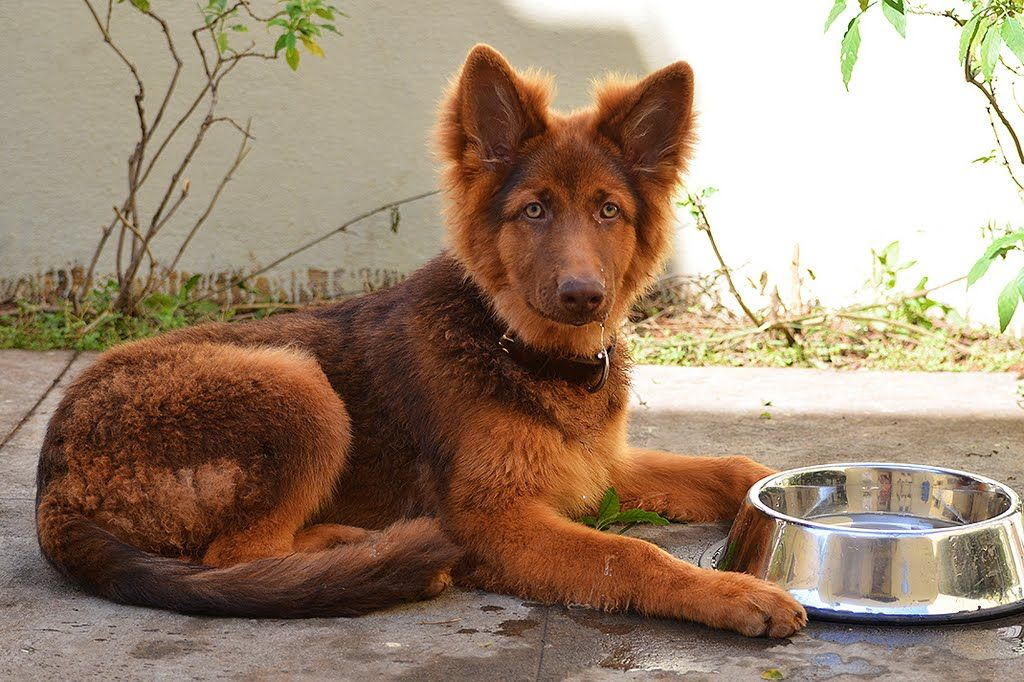 5 Training Tips For German Shepherd Puppies Red German Shepherd