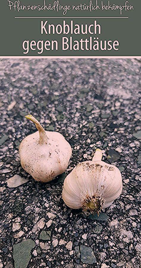 Photo of Knoblauch gegen Blattläuse – Hausmittel aus der Natur – grüneliebe