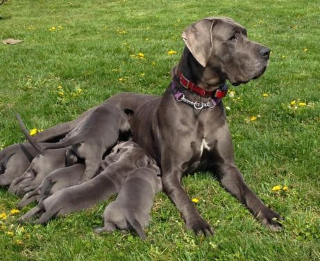 Akc Great Dane Blue Euro Puppies Puppies Dogs Puppies Dogs
