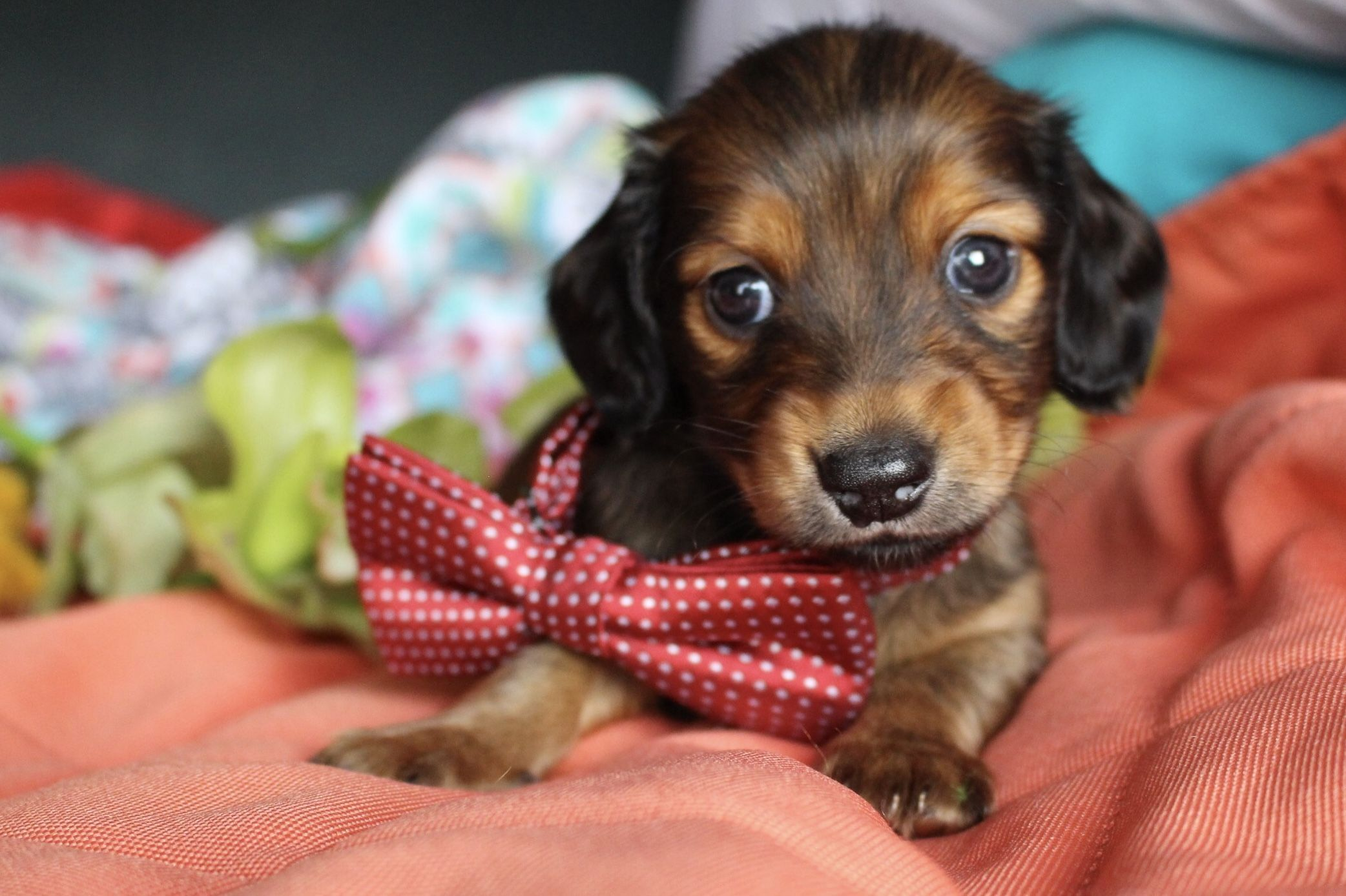 Shaded Red Longhair Miniature Dachshund Puppies For Sale Texas