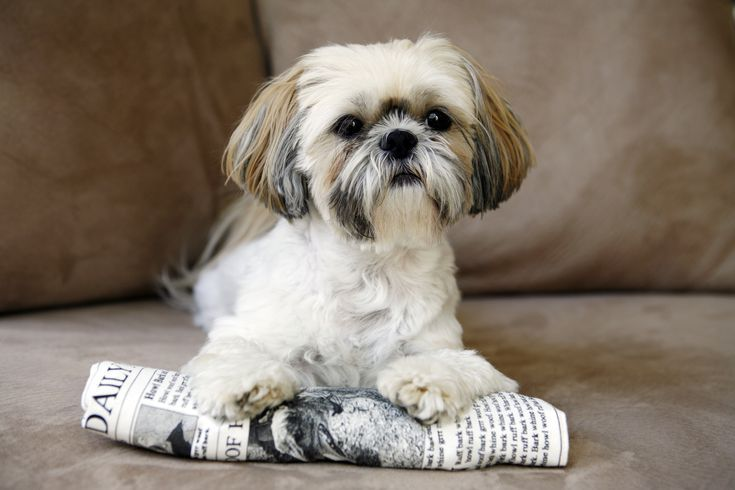 The Best Small Dog Breeds Cute Small Dogs Shih Tzu Dog Dog Breeds