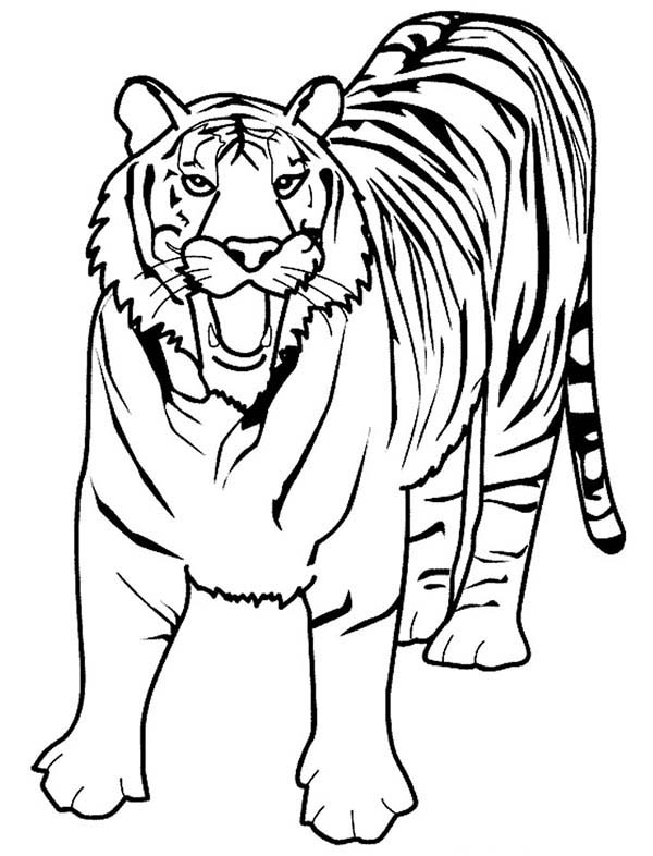 A Loud Roaring Of Bengal Tiger Coloring Page Download Print Online Coloring Pages For Free Color N Zoo Coloring Pages Tiger Pictures Shark Coloring Pages