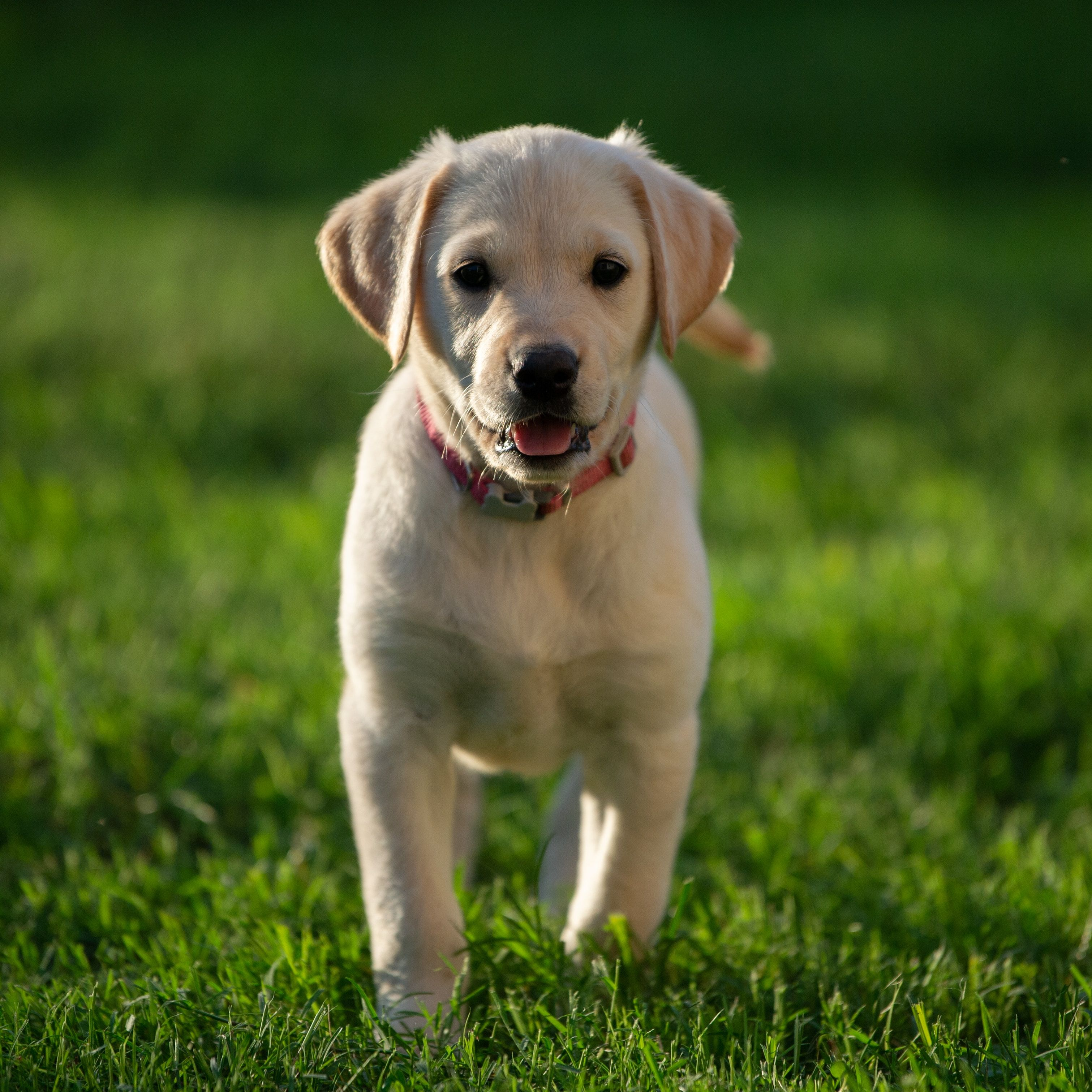 Labrador Retriever Puppy Golden Retriever Labrador Mix Labrador Retriever Most Popular Dog Breeds