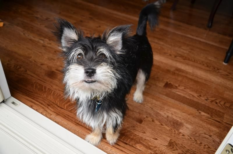 Adopt Bow Tie On Petfinder Terrier Mix Dogs Terrier Pets