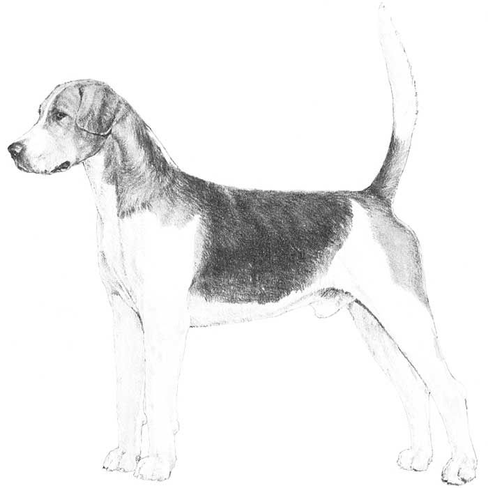 English Foxhound Dog Breed Information Dog Breeds The Fox The