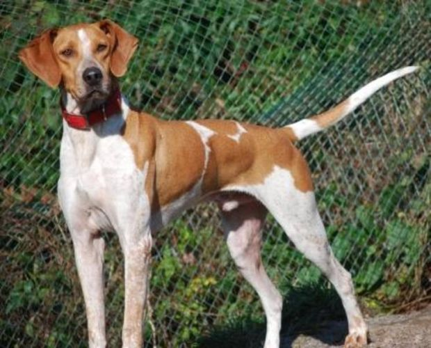 Red Tick Coonhound English Red Tick Coonhound For Sale In