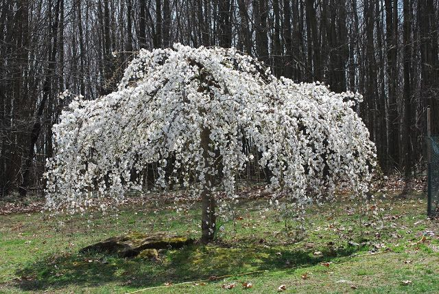 Caring For A White Weeping Cherry Tree Voortuin Bloesem Tuin