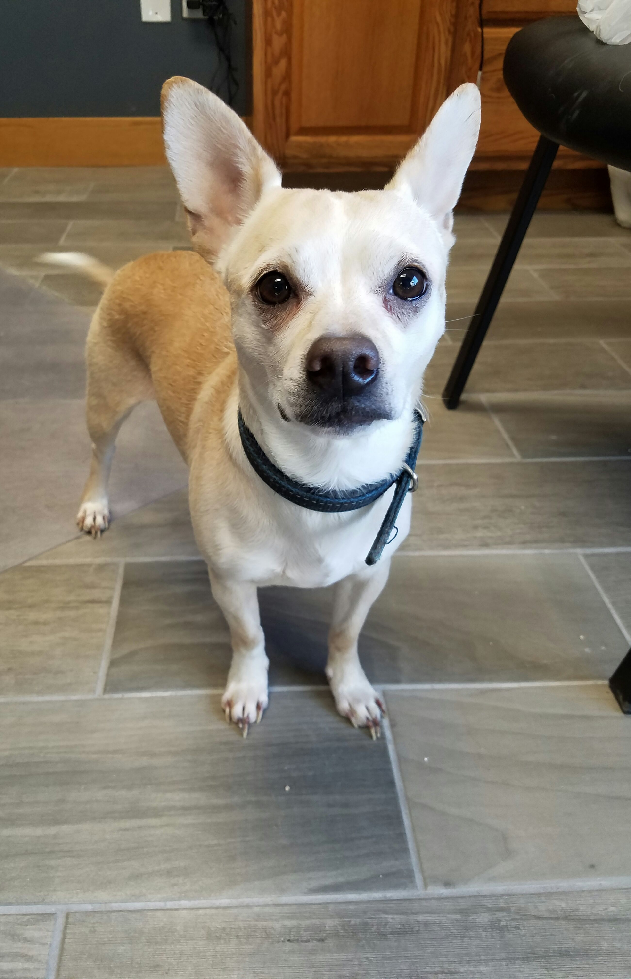 Chihuahua dog for Adoption in Carroll, IA. ADN-406401 on PuppyFinder.com Gender: Male. Age: Adult