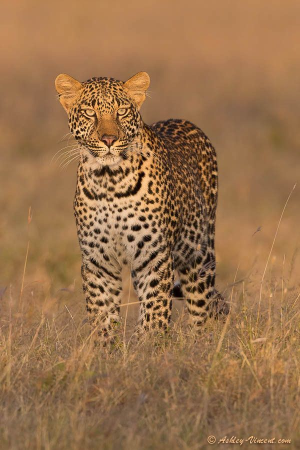 Magical Mara Moment ~ Leopard by Ashley Vincent