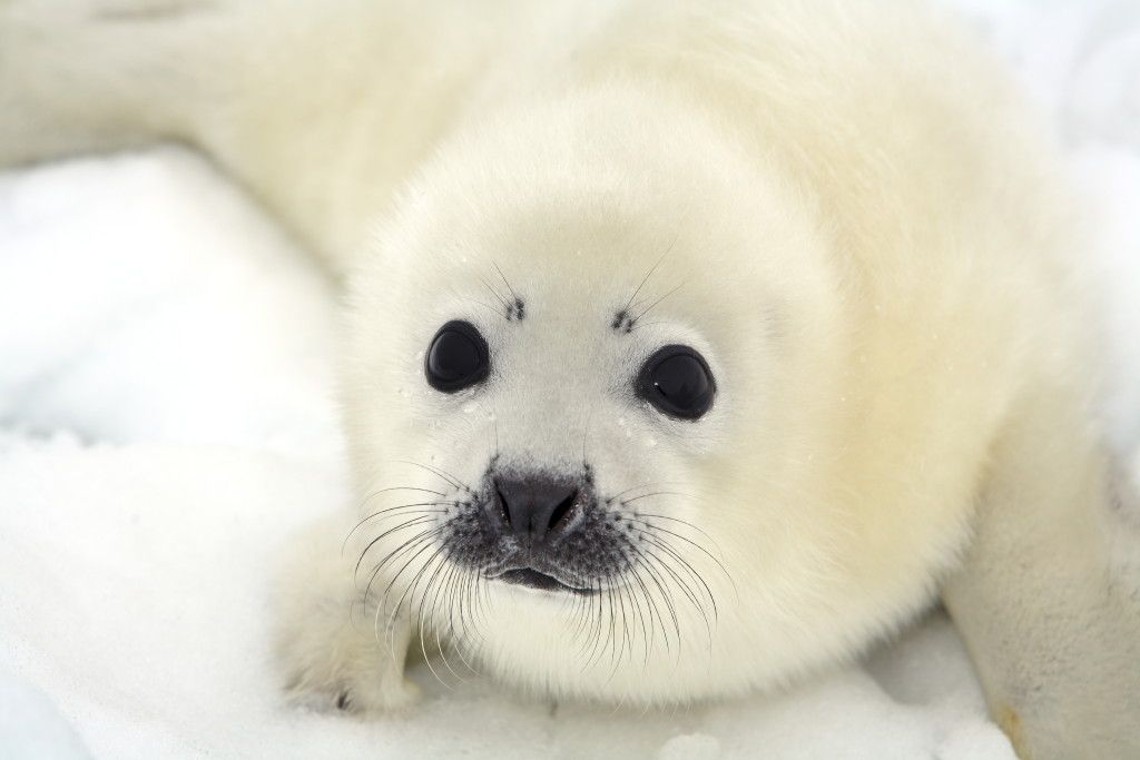 Baby Seal Clubbing