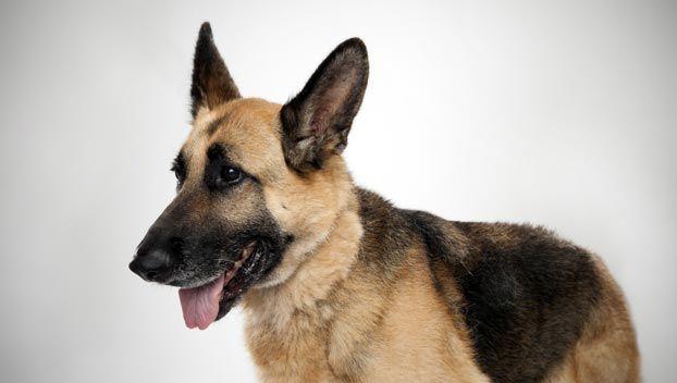 German Shepherd Dog Breed Selector German Shepherd Dogs