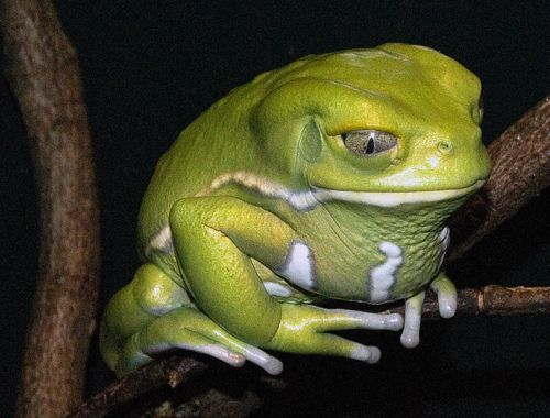 Angry Animals Google Search: Angry Frog - Google Search