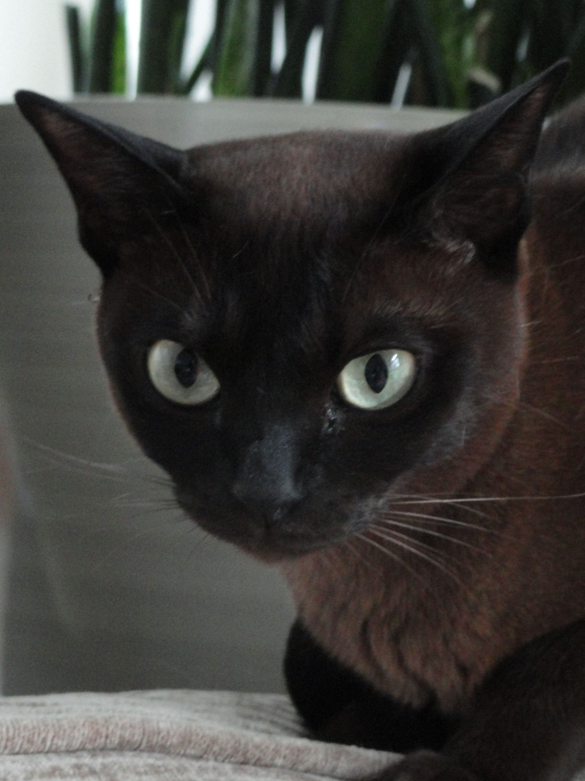 Luna Natural Solid Tonkinese Tonkinese Cat Cats And Kittens Tonkinese