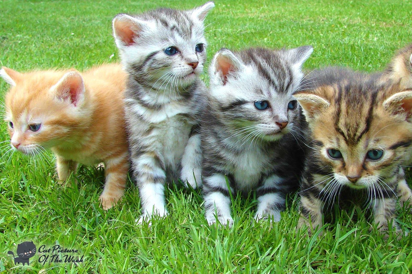 Pin By Cat Picture Of The Week On Kittens Newborn Kittens Kittens Animals