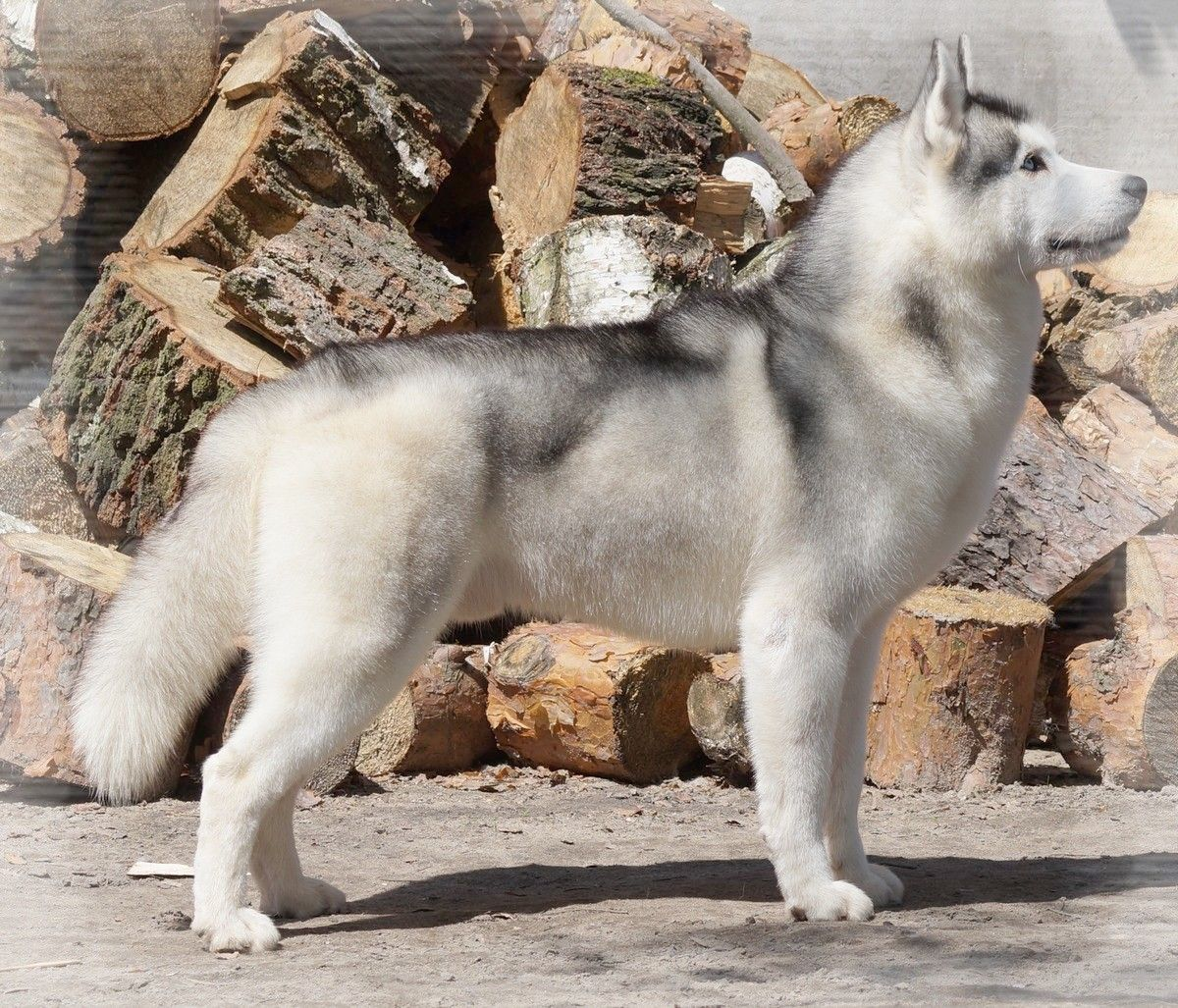 Siberian Husky Kennel Hodowla Eskimoski Domek Husky Kennel