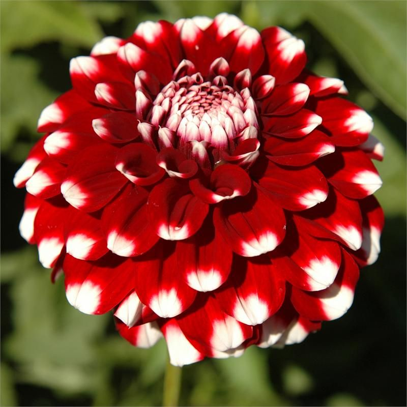 Checkers Item 191 Red And White Flowers Flower Farm Flowers