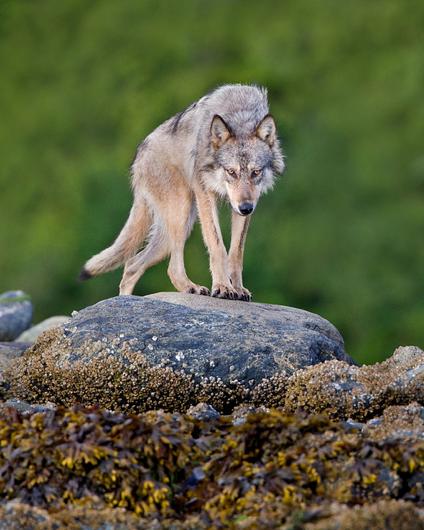 ☀Coastal grey wolf by Lions Gate Camera Club on Flickr