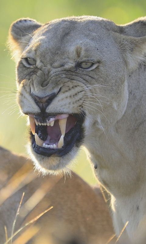 c355e7644 480x800 Wallpaper lion, lioness, teeth, anger, aggression, predator ...