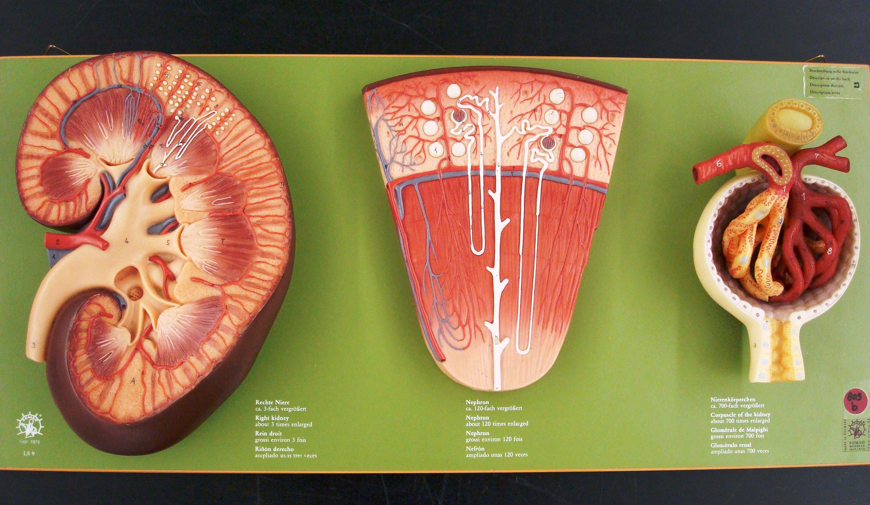 Kidney Models Anatomy