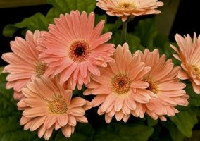 Gerbera Flower Free Photos For Free Download About 68 Free Photos In Jpg Format Page 2 3 Easy Care Indoor Plants Plants Gerbera Daisy