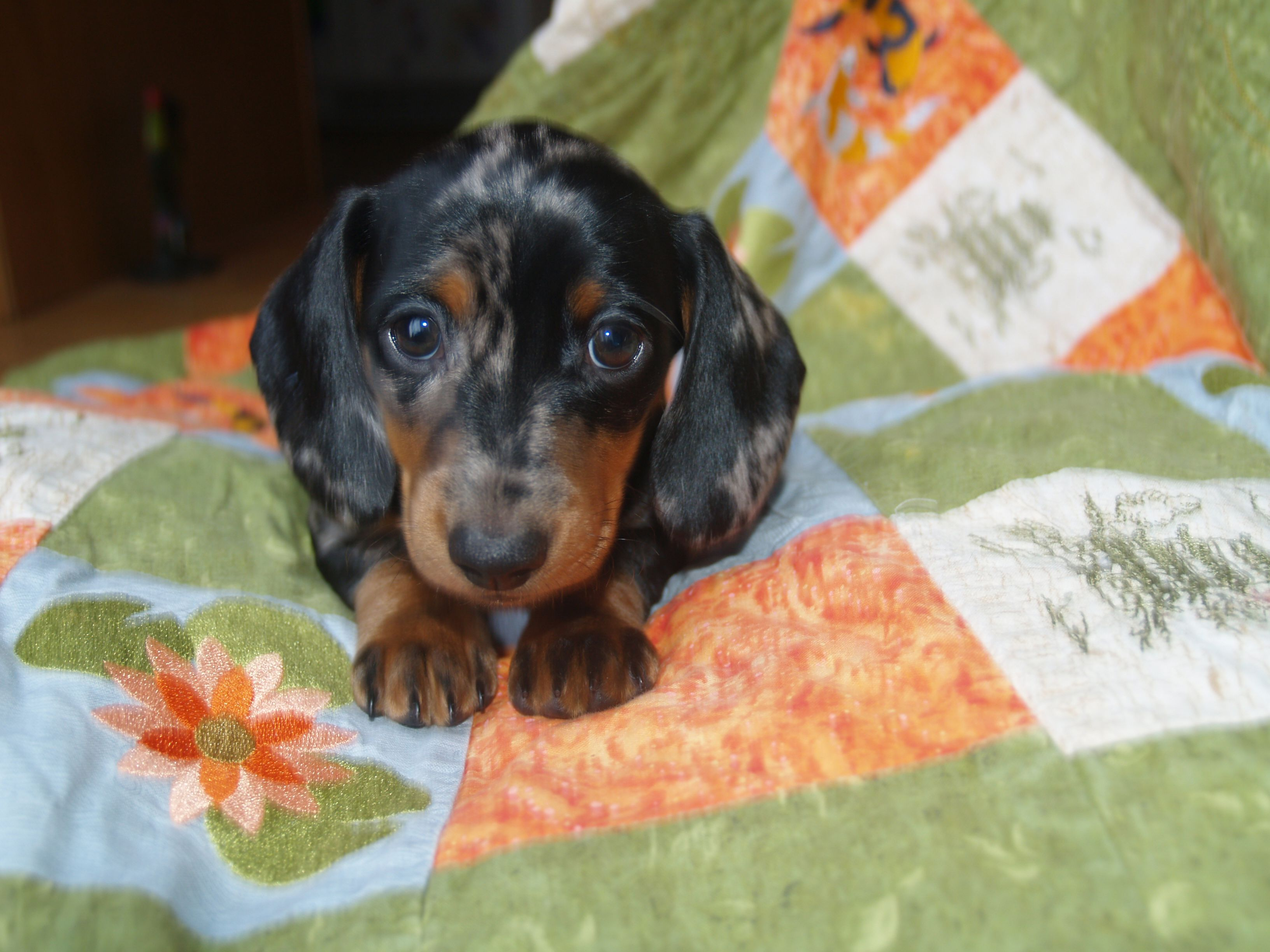 Alice Smooth Black Tan Dapple Mini Dachshund 7 Weeks Old