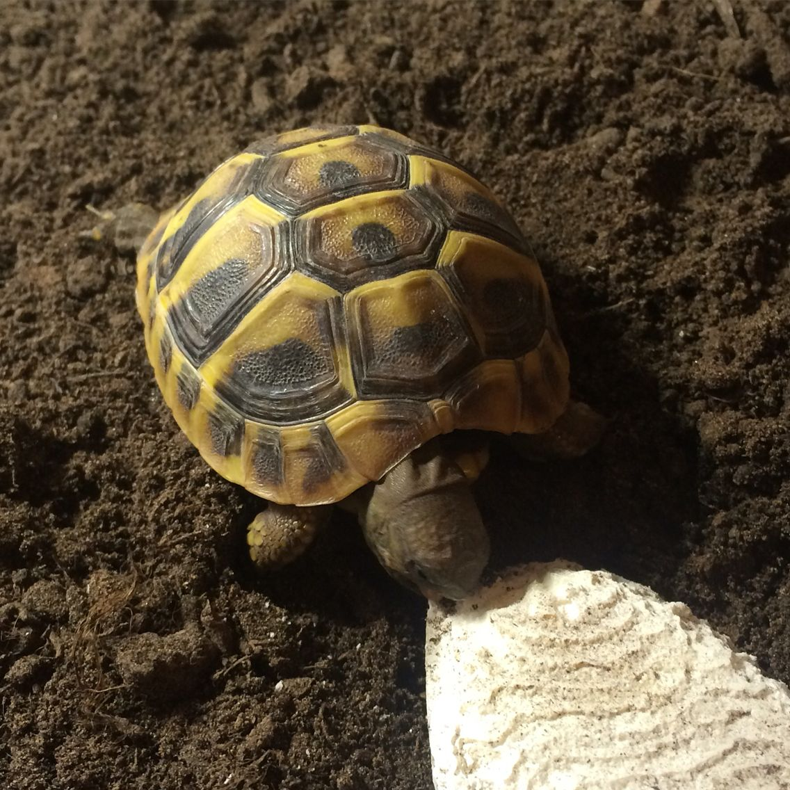 Luna our other little Hermanns | Tortoise | Pinterest