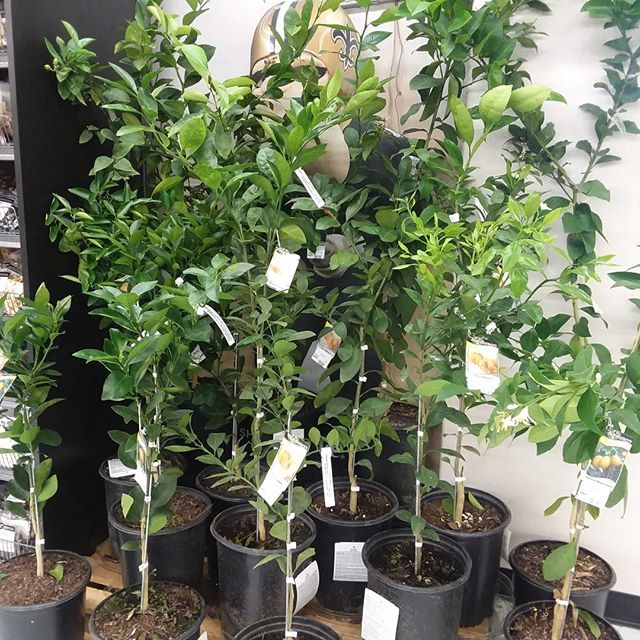 Citrus and Mayhaw trees are now available at all Hi Nabor