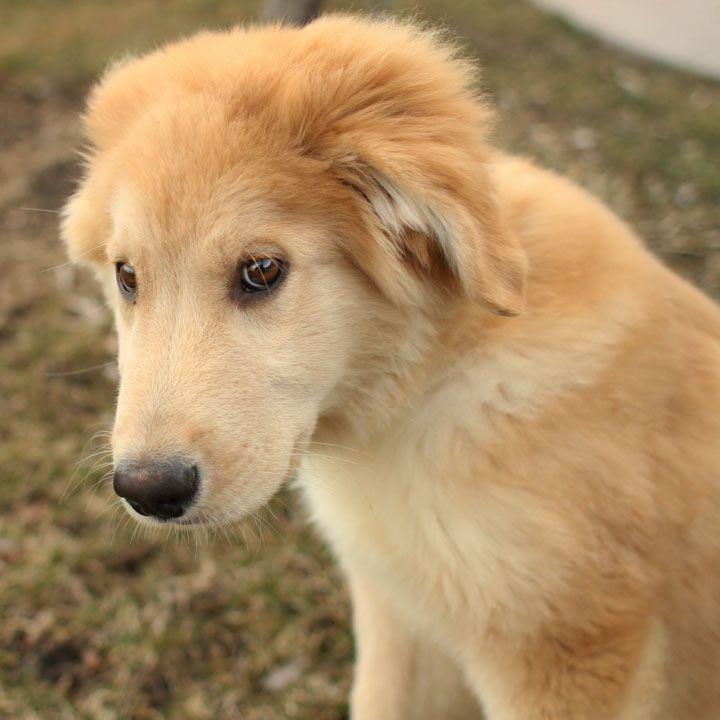 Pretty Mutts Golden Retriever Husky Dog Breeds I Love Puppies