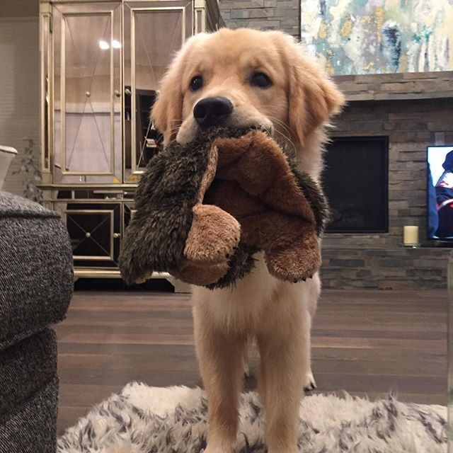 Golden Retriever Noble Loyal Companions With Images Cute