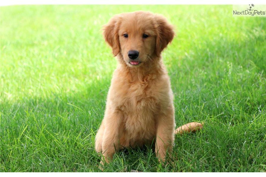 Ginger Golden Retriever Puppy For Sale Near Lancaster Golden