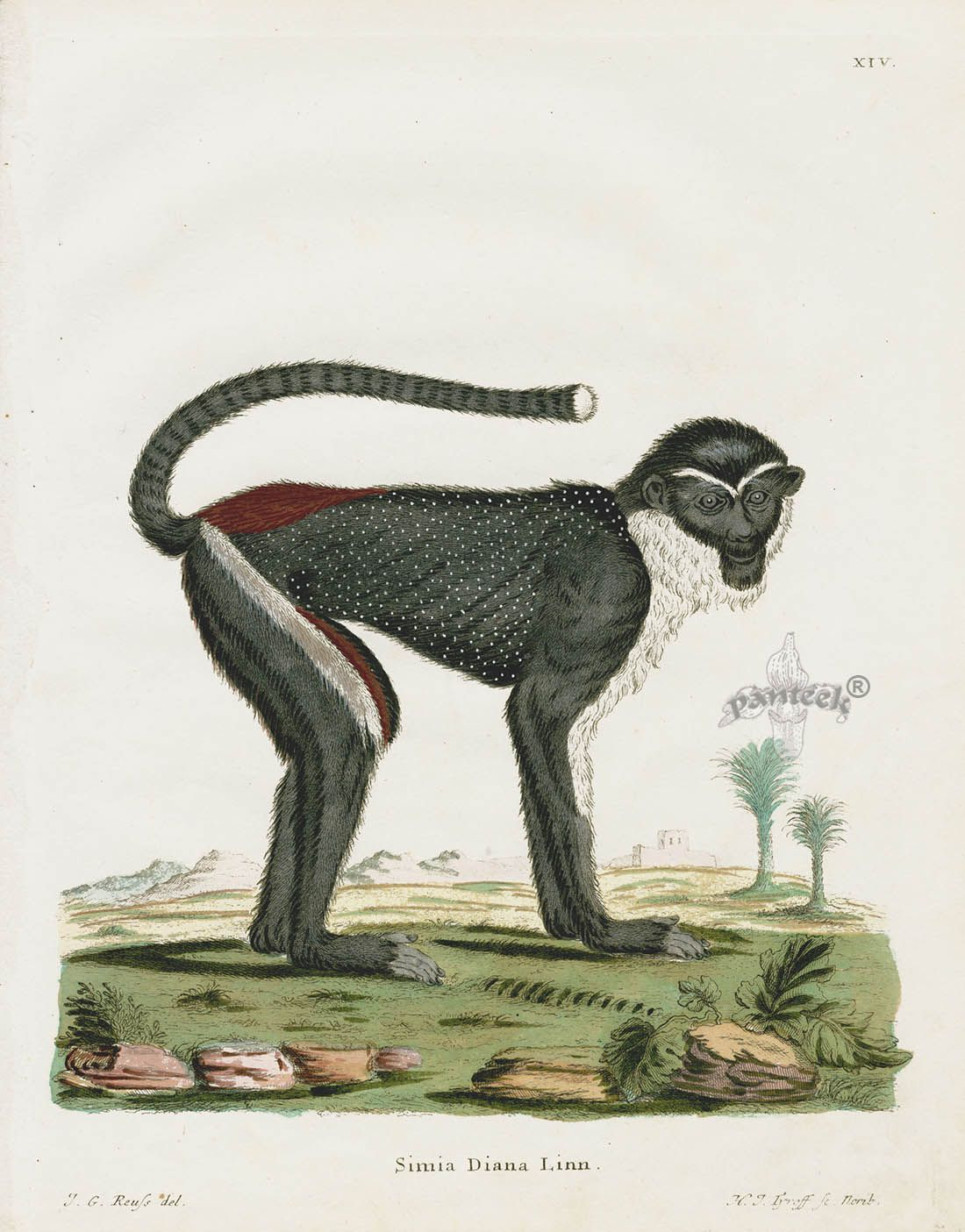 Diana Monkey Simia Diana Sch14 Antique Botanical Print