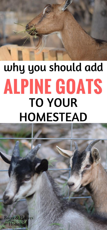 All About Raising Alpine Goats | Alpine goats, Goats, Goat ...