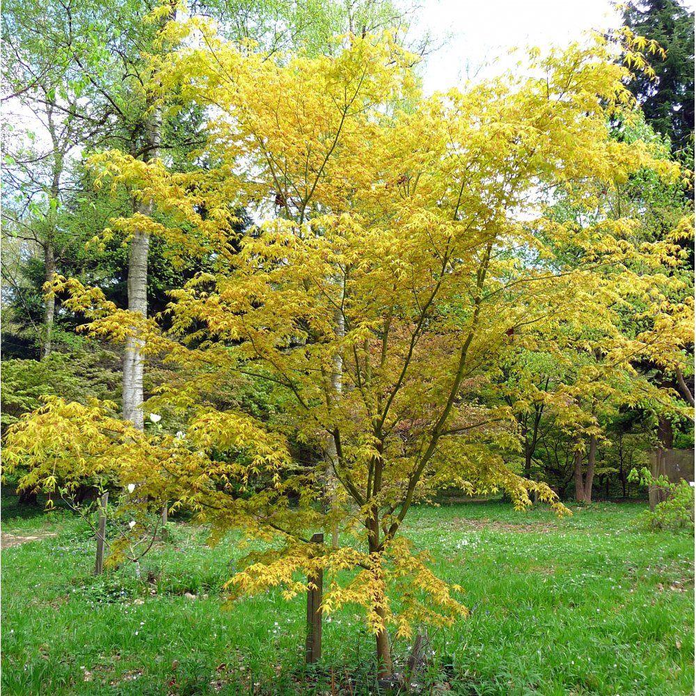 ornamental trees japanese gardens Katsura Japanese Maple tree | Jan | Acer palmatum, Maple