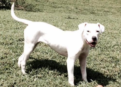 Adopt Daisy On Dogo Argentino Dog American Bulldog Mix Animal Action