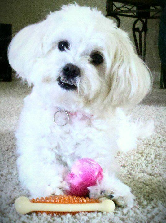 My Lil Malti Poo Abby Maltese Poodle Mix Dog Mixes Maltese Dogs