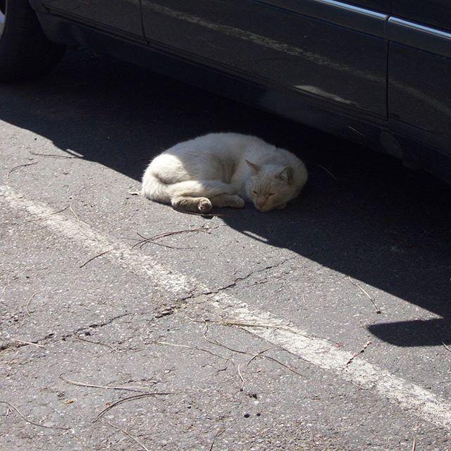 An unnamed #homelesscat in #westphoenix.  #cats #catsofinstagram #whitecat #arizona  #citylife