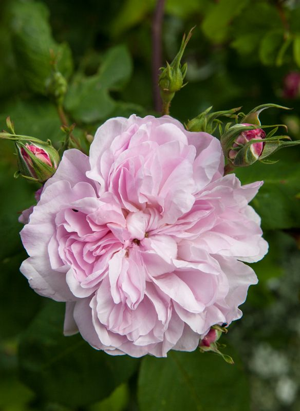 Centifolia Rose: Rosa 'Fantin-Latour' (discovered in U.K., before 1938)